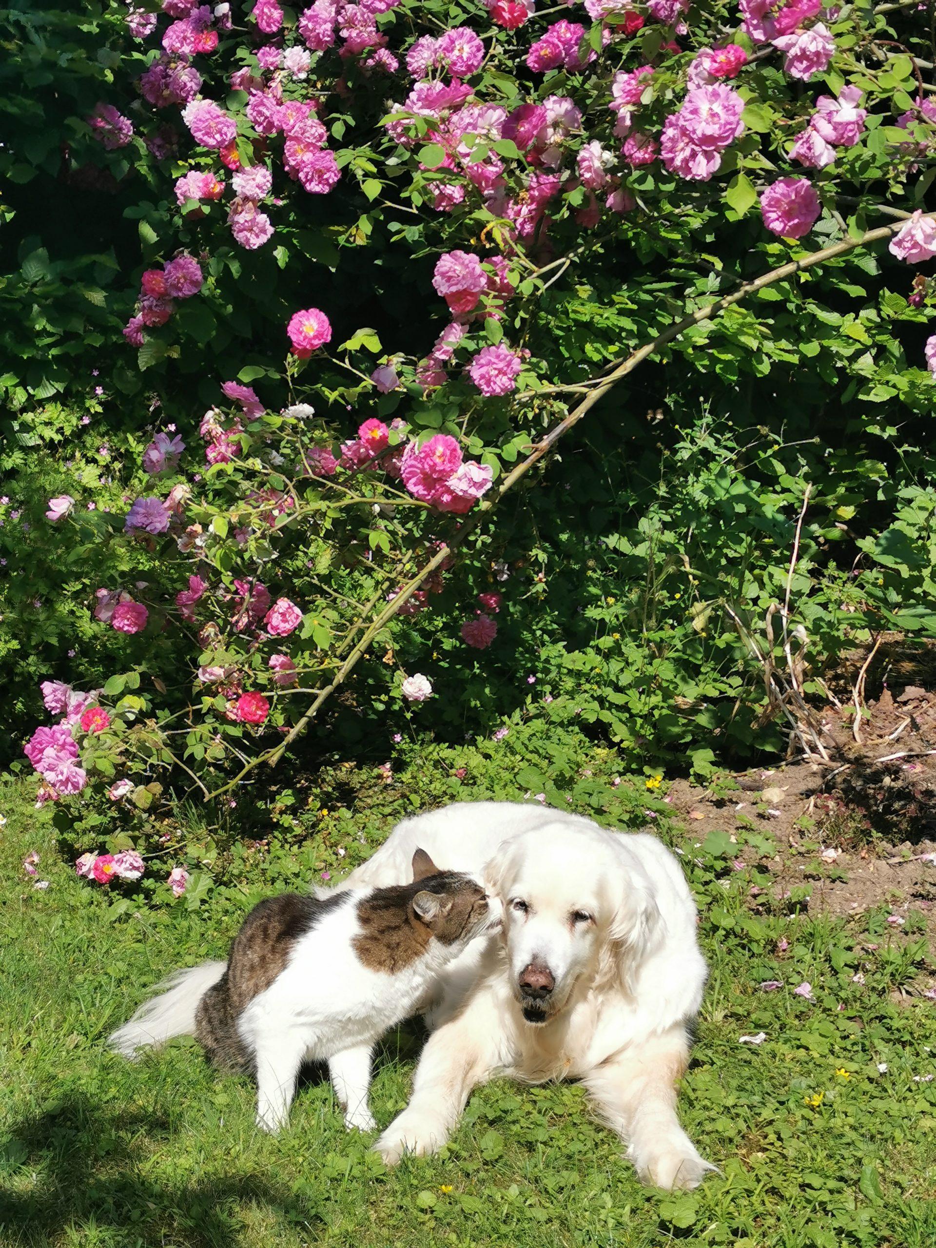 Hund und Katze vor einem Rosenstrauch, der Kater scheint der Hündin etwas ins Ohr zu flüstern